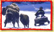 snowmobile harassing bison